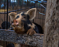A pig at a fence probably begging for food