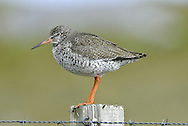 Redshank Tringa totanus L 28cm. Medium-sized wader with shrill alarm call. In flight, note white trailing edge to wings, white back and rump, and trailing red legs. Sexes are similar. Adult in summer is mainly grey-brown above and pale below but back is marked with dark spots and neck, breast and flanks are streaked. Note faint, pale supercilium and eyering; base of bill is reddish. In winter, has uniform grey-brown upperparts, head, neck and breast, with paler, mottled underparts. Bill and leg colours are dull. Juvenile recalls winter adult but plumage is overall browner, back feathers have pale marginal spots, and legs and base of bill are dull yellow. Voice Utters a yelping tiu-uu alarm call. Song is musical and yodelling. Status Locally common nesting species in damp grassland, moors and marshes. Migrants boost numbers outside breeding season and common on coasts in winter.