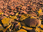 Yellow lichen grows on fractured bedrock exposed along the Lake Superior shoreline, in Porcupine Mountains Wilderness State Park, Michigan, USA. (Native Ojibwa people named the local mountains for their porcupine silhouette.)