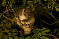 Painted Ringtail Possum (Pseudochirulus forbesi)<br />In a tree in the upper montane forest of the Foja Mountains at approx 2000 m elevation.