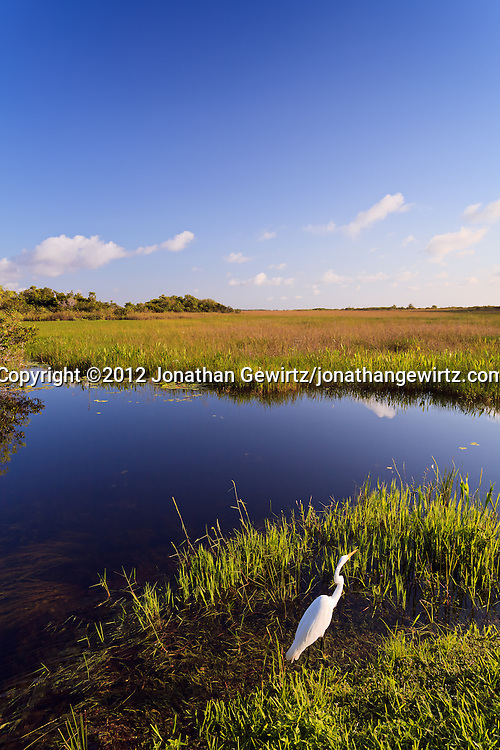 A Great Egret (Ardea alba) hunts on the edge of a canal along the Anhinga Trail in Everglades National Park, Florida. WATERMARKS WILL NOT APPEAR ON PRINTS OR LICENSED IMAGES.