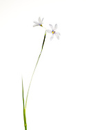Pale Blue-eyed Grass (Sisyrichium albidum)