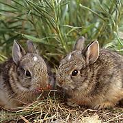Mountain Cottontail, (Sylvilagus nuttalli) young bunnys feeding on clover in foothills of Bridger Mountains. Montana.  Captive Animal.
