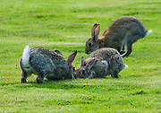 Rabbits. Keswick Country House Hotel in Lake District National Park, Cumbria county, England, UK, Europe. England Coast to Coast hike with Wilderness Travel, day 3 of 14. [This image, commissioned by Wilderness Travel, is not available to any other agency providing group travel in the UK, but may otherwise be licensable from Tom Dempsey – please inquire at PhotoSeek.com.]