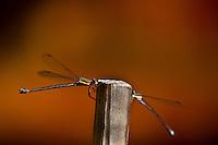 Dragonflies, Littleton, Colorado USA