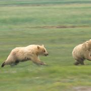 Alaskan Brown Bear, (Ursus middendorffi) One cub chasing sibling. Alaskan Peninsula.