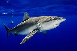 Galapagos sharks, Carcharhinus galapagensis, North Shore, Oahu, Hawaii, Pacific Ocean