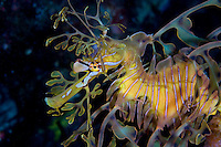 Leafy Sea Dragon..Shot in Australia