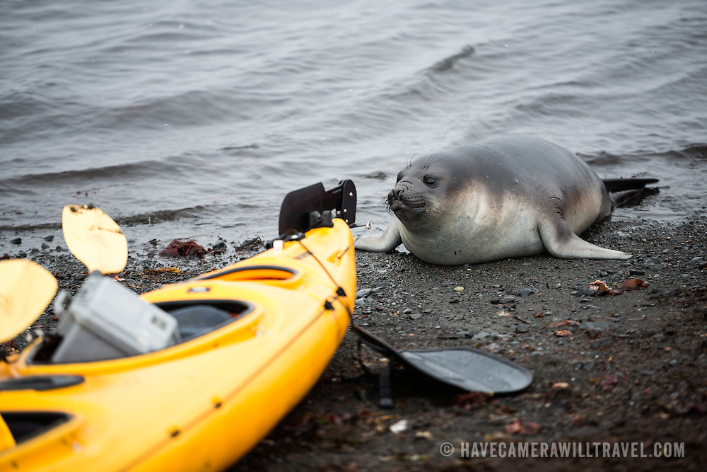 A curious Southern Elephant seal calf investigates a kayak on the beach on Livingston Island in the South Shetland Islands, Antarctica.