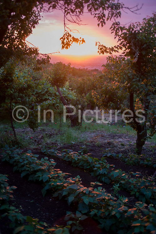 """Boughs heavy with apricots, grapes, lemons and plums are tinged pink by the setting sun on land owned by Baldassare and Felicia De Simons in the village of Somma Vesuviana, in the Red (evacuation) Zone on the western slope of Vesvius, Somma, Italy. The family have owned this land for generations, the family would choose to stay if the volcano erupts again. """"I was born here, I grew up here, I will die here, I've never been afraid here,"""" says Baldassare. But Giuseppe Mastrolorenzo at the Vesuvius Volcano Observatory in Naples adds, """"There would be no modern precedent for an evacuation of this magnitude .. This is why Vesuvius is the most dangerous volcano in the world."""" From the chapter entitled 'Under the Volcano' and from the book 'Risk Wise: Nine Everyday Adventures' by Polly Morland (Allianz, The School of Life, Profile Books, 2015)."""