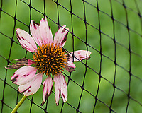 Echinacea. Image taken with a Nikon 1 V3 camera and 70-300 mm VR lens.