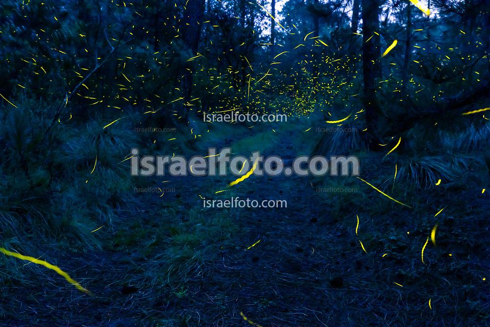 27 de agosto de 2018, Nanacamilpa, Tlaxcala, México. Cada año, durante los meses de julio y agosto, se avistan luciérnagas en el bosque de Nanacamilpa, Tlaxcala.  /  Every year thousands of fireflies can be seen in Nanacamilpa forest, Tlaxcala, Mexico.