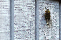 19 July 2015:   A cicada on the side of a shed.  Cicadas are insects in the order Hemiptera, suborder Auchenorrhyncha. Cicadas are in the superfamily Cicadoidea. Their eyes are prominent, though not especially large, and set wide apart on the anterior lateral corners of the frons