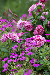 Rosa 'Ferdinand Pichard' with Geranium psilostemon