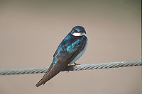 Tree Swallow (Tachycineta bicolor), perched on fence wire, Millarville, Alberta, Canada   Photo: Peter Llewellyn