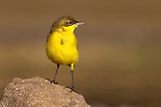 Yellow wagtail (Motacilla flava) in a wetland area. Yellow wagtails are insectivorous, preferring to live in open country where it is easy to spot and pursue their prey. Photographed in Israel in September