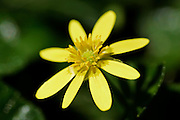 Wild Yellow Flower From the Buttercup Family, England
