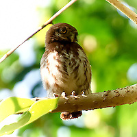 Midget Owl in Tarrales Bird Sanctuary. Image taken with a Nikon D3s and 70-300 mm VR lens (ISO 200, 300 mm, f/5.6, 1/400 sec). Raw image processed with Capture One Pro, Focus Magic, NIK Color Efex Pro (Tonal Contrast), and Photoshop CS5.