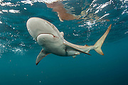 A Silky Shark, Carcharhinus falciformis, swims offshore Jupiter, Florida, United States.