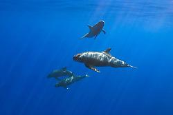 pygmy killer whales, Feressa attenuata, off Kona Coast, Big Island, Hawaii, Pacific Ocean..
