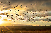 Snow geese fly through the sunset over Bosque del Apache National Wildlife Refuge, New Mexico