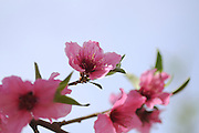 Pink blossoms on a Peach tree in an orchard. On blue sky background. Photographed in Israel
