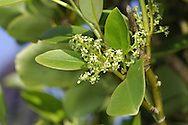New Zealand Broadleaf (also known as Kapuka) Griselinia littoralis Height to 7m. Evergreen shrub or small tree. Leaves are oval , leathery and yellowish-green. Flowers  are greenish-yellow and borne in panicle. Fruits are blackish berries. Semi-hardy, doing best in England in  southern coastal districts
