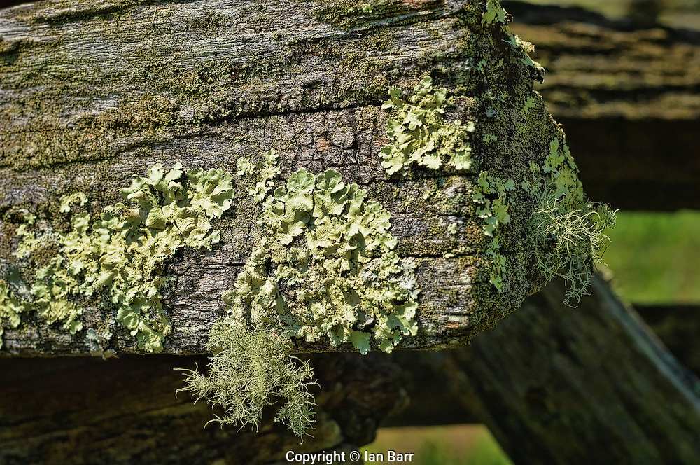 Moss and Lichens growing on a rail fence