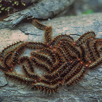 Caterpillars crawl along the ground in Nepal.