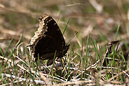 A Mourning Cloak Butterfly(Nymphalis antiopa) at Page Springs Campground, Malheur National Wildlife Refuge, Oregon.