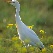 Cattle Egret, (Bubulcus ibis) Portrait of bird hunting in a vacant lot of the Florida Keys.