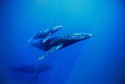 humpback whale, Megaptera novaeangliae, mother, calf and escort, Hawaii, USA, Pacific Ocean