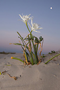 Pancratium maritimum, or sea daffodil, is a species of bulbous plant native to both sides of the Mediterranean region and Black Sea from Portugal, Morocco and the Canary Islands east to Turkey, Syria, Israel and the Caucasus.<br />