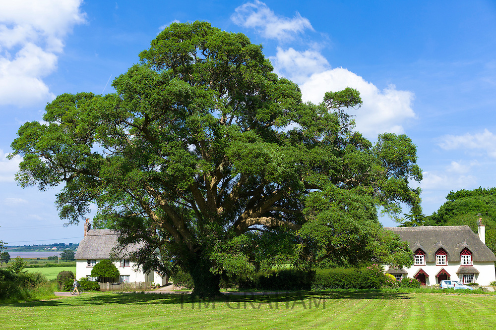 Cork Oak Tree, Quercus suber, an evergreen tree by quaint country cottages at Powderham in Devon, England, UK