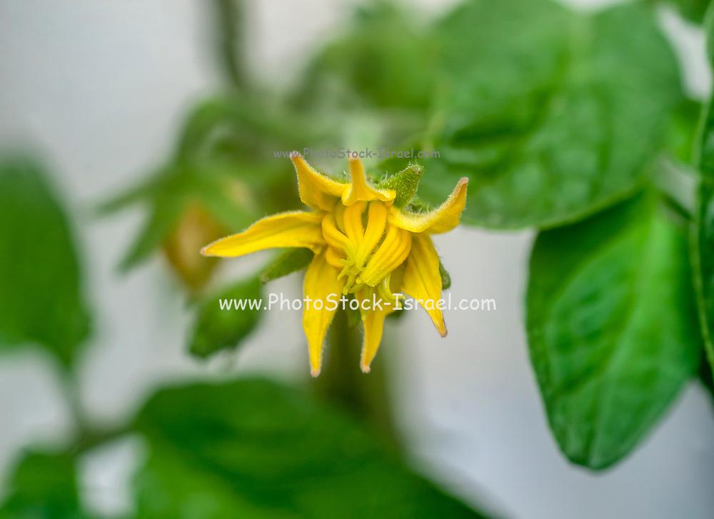 close up of a Yellow tomato blossom on a tomato bush