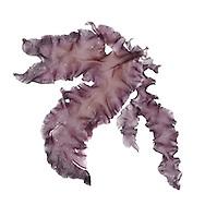 Laver - Pophyra umbilicalis