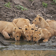 African lion cubs drinking from watering hole. Londolozi Private Game Reserve. South Africa.