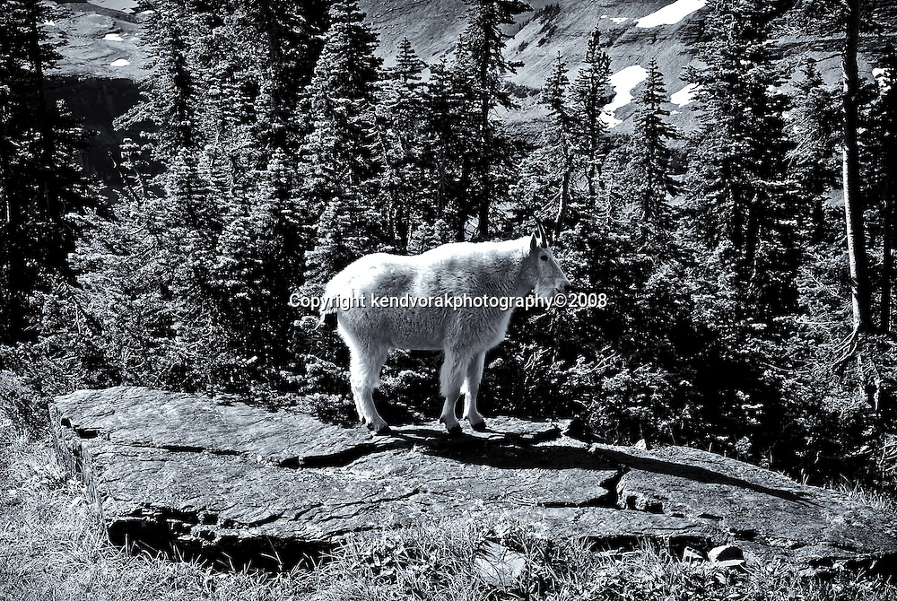 Mountain Goat 8<br /> converted to B&W 1/24/14
