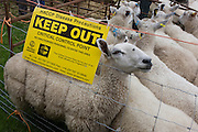 Sheep up for auction kept behind fencing to avoid the spread of diseases at the ancient annual Priddy Fair in Somerset, England.
