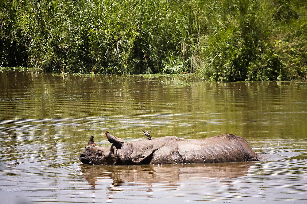 A greater one-horned Asian rhinoceros (Rhinoceros unicornsis). takes a bath with a small bird on its back in Royal Chitwan National Park, Nepal.