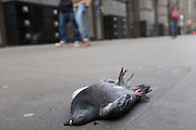 Dead pigeon on the pavement in London, UK. City pigeons are a pest in cities all over, and despite there being a lot of casualties, their numbers remain strong.