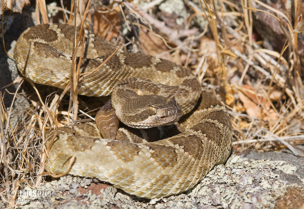 Northern Pacific rattlesnake, Crotalus viridis oreganus, in defensive posture. The snake's heat-sensing pit is visible below and in front of the eye. Mount Diablo State Park, California