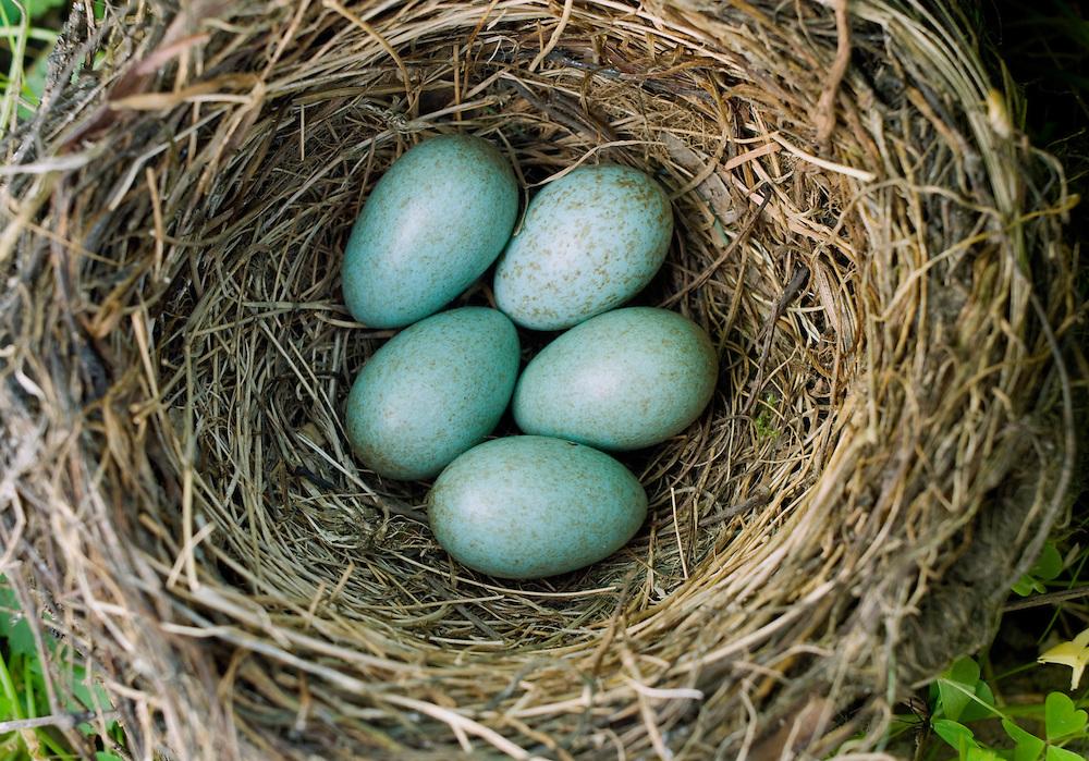 A nest with five blackbird eggs.