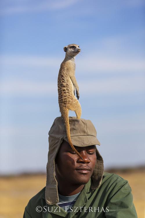 Meerkat<br /> Suricata suricatta<br /> Sentry on meerkat habituator's head<br /> Makgadikgadi Pans, Botswana