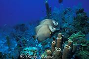 gray angelfish, Pomacanthus arcuatus, mated pair<br /> and brown tube sponges, Providenciales, <br /> Turks & Caicos Island ( Western Atlantic Ocean )