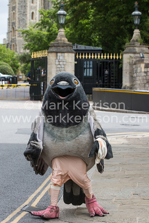 Windsor, UK. 1 July, 2020. A bandaged giant pigeon is used by PETA UK activists for a protest against pigeon racing outside Windsor Castle. Animal rights charity PETA UK is calling on the Queen, currently isolating at Windsor Castle, to cut ties with pigeon racing following a PETA US investigation which revealed that all eight birds sent by the Queen to participate in the 2020 South African Million Dollar Pigeon Race (SAMDPR) died in quarantine and that fewer than a quarter of the birds entered for the race subsequently complete it.