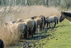 Konik, Equus ferus caballus s.l.