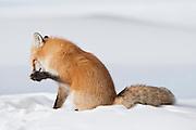 Red Fox (Vulpes fulva)