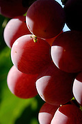 Israel, Negev, Lachish Region, Vineyard, Close up of a cluster of ripe grapes