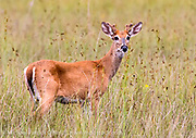 White Tail Deer, Odocoileus virginianus, photographed in Big Cypress National Preserve in the Florida Everglades.